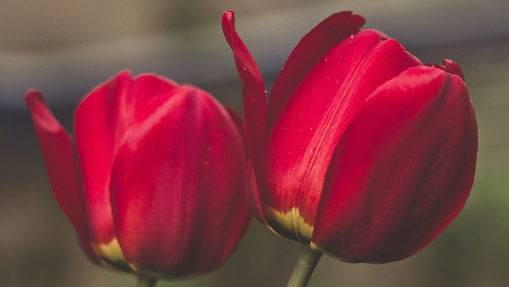 two red tulips bg